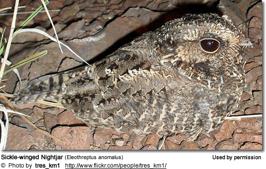 Sickle-winged Nightjar (Eleothreptus anomalus)