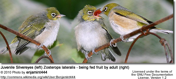 Juvenile Silvereyes (left) Zosterops lateralis - being fed fruit by adult (right)