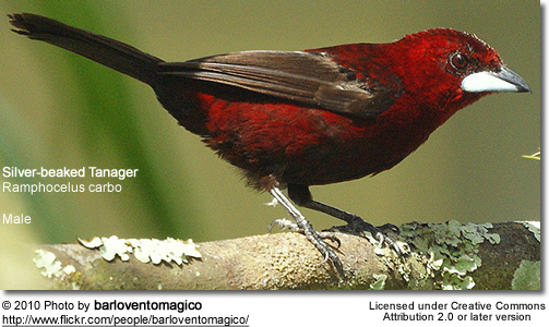 Silver-beaked Tanager, Ramphocelus carbo - male