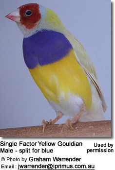 Single Factor Yellow Gouldian Male - split for blue