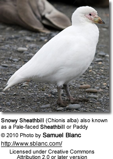 Snowy Sheathbill (Chionis alba) also known as a Pale-faced Sheathbill or Paddy
