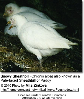 Snowy Sheathbills (Chionis alba) also known as a Pale-faced Sheathbills or Paddies