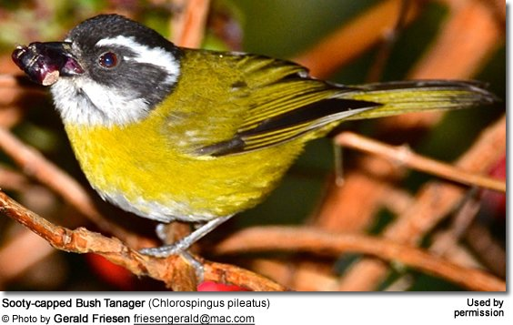 Sooty-capped Bush Tanager (Chlorospingus pileatus)