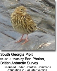 South Georgia Pipit (Anthus antarcticus)