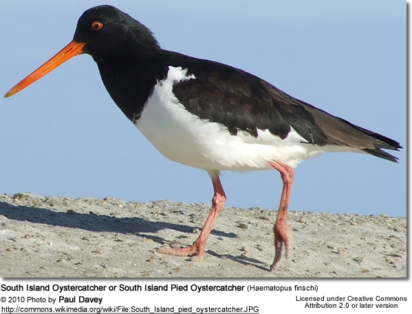 South Island Oystercatcher or South Island Pied Oystercatcher (Haematopus finschi)