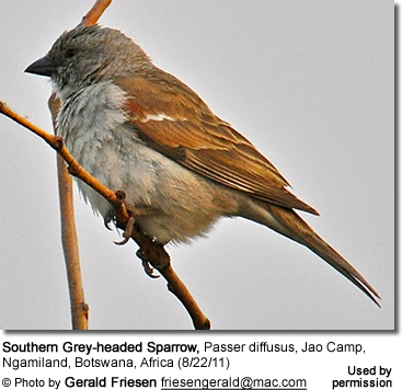 Southern Grey-headed Sparrow, Passer diffusus, Jao Camp, Ngamiland, Botswana, Africa (8/22/11)