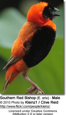 Southern Red Bishop (E. orix) - Male