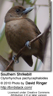 Southern Shrike Bill
