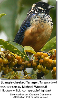 Spangle-cheeked Tanager (Tangara dowii)