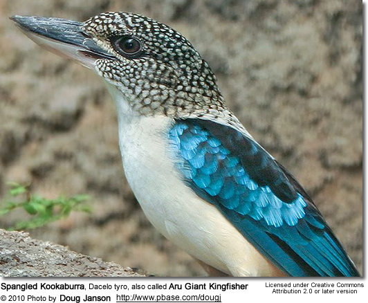 Spangled Kookaburra, Dacelo tyro, also called Aru Giant Kingfisher