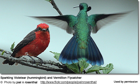 Sparkling Violetear (hummingbird) and Vermillion Flycatcher