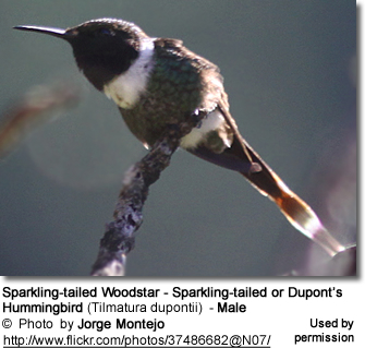 Sparkling-tailed Woodstar - Sparkling-tailed or Dupont's Hummingbird (Tilmatura dupontii) - Male