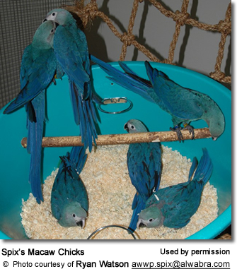 Spix's Macaw Chicks