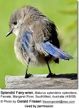 Splendid Fairywrens (Malurus splendens)