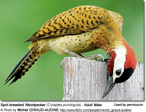 Spot-breasted Woodpecker (Colaptes punctigula) - Adult Male