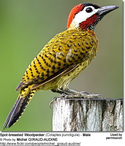 Spot-breasted Woodpecker (Colaptes punctigula) - Male
