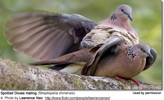 Spotted Doves mating (Streptopelia chinensis)