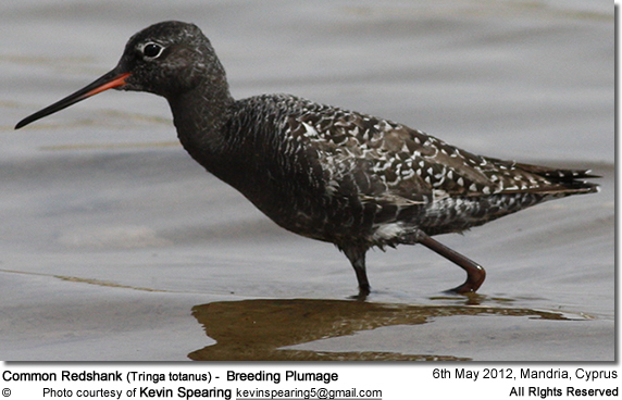 Spotted Redshank (Tringa erythropus) - Breeding Plumage