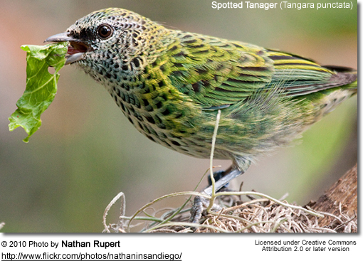 Spotted Tanager (Tangara punctata)