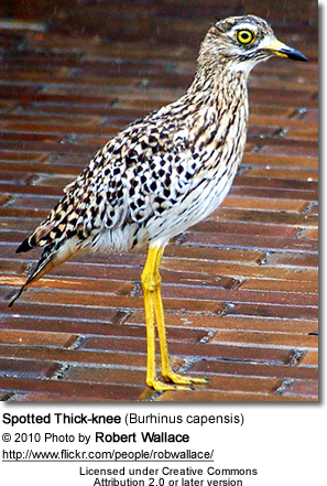 Spotted Thick-knee (Burhinus capensis) is known by various names, including Spotted Dikkop or Cape Thick-knee, or Gewone Dikkop