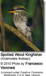 Spotted Wood Kingfisher (Actenoides lindsayi)
