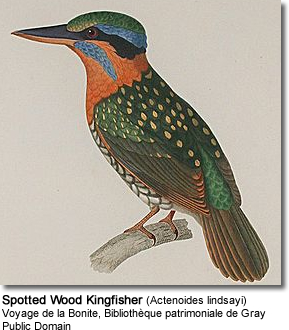 Moustached Kingfisher (Actenoides bougainvillei)
