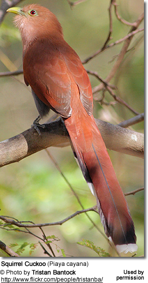 Squirrel Cuckoo from back