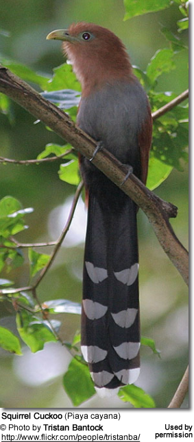 Squirrel Cuckoos (Piaya cayana)