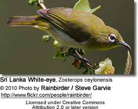 Sri Lanka White-eye (Zosterops ceylonensis) - previously referred to as Ceylon White-eye