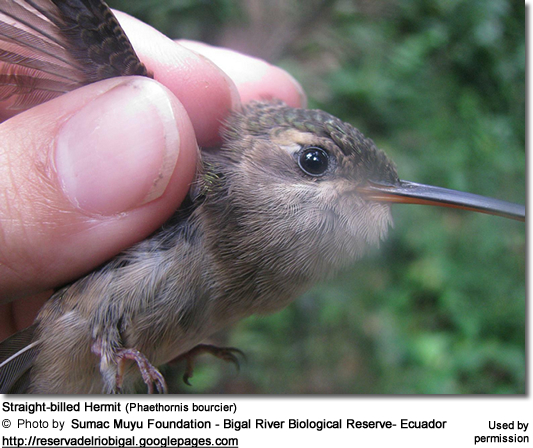 Straight-billed Hermit (Phaethornis bourcier )