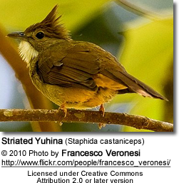 Striated Yuhina (Staphida castaniceps)