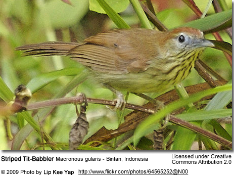 Striped Tit-Babbler