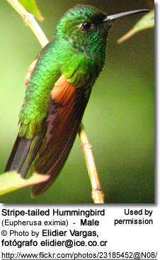 Stripe-tailed Hummingbird (Eupherusa eximia) - Male