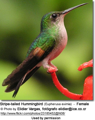 Stripe-tailed Hummingbird (Eupherusa eximia) - Female