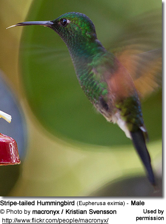 Stripe-tailed Hummingbirds (Eupherusa eximia)