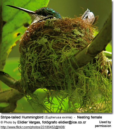 Nesting Stripe-tailed Hummingbird