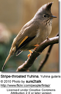Stripe-throated Yuhina, Yuhina gularis