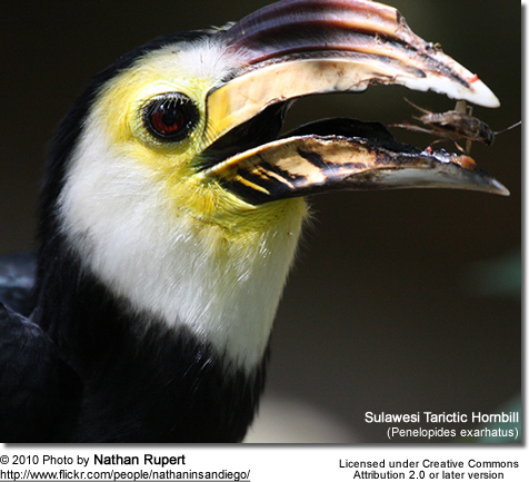 Sulawesi Tarictic Hornbill (Penelopides exarhatus) is also known as the Sulawesi Hornbill, Temminck's Hornbill or Sulawesi Dwarf Hornbill