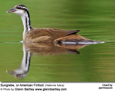 Sungrebe, or American Finfoot (Heliornis fulica)