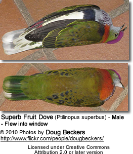 Superb Fruit Dove (Ptilinopus superbus) - Male