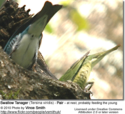 Swallow Tanager (Tersina viridis) - Pair - at nest, probably feeding the young