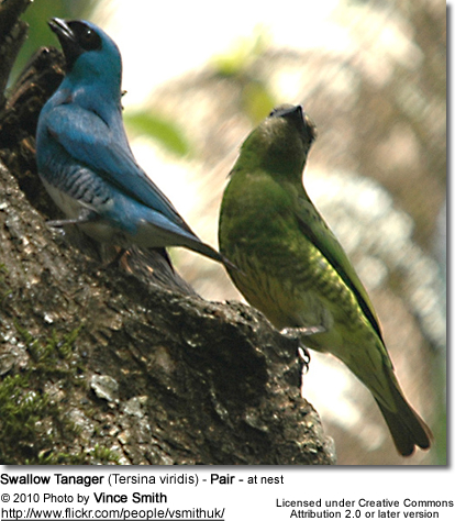 Swallow Tanager (Tersina viridis) - Pair - at nest