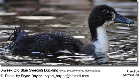 6-week Old Blue Swedish Duckling (Anas platyrhynchos domesticus)