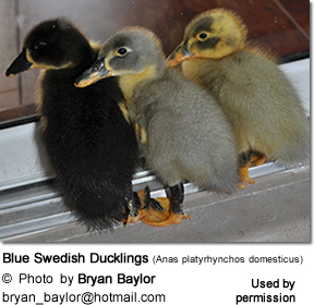 Blue Swedish Ducklings (Anas platyrhynchos domesticus)