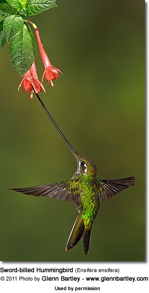 Sword-billed Hummingbirds | Beauty of Birds