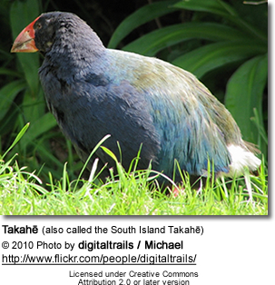 Takahe (also called the South Island Takahe)