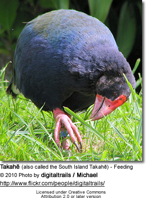 Takahē (also called the South Island Takahe) - Feeding Pose