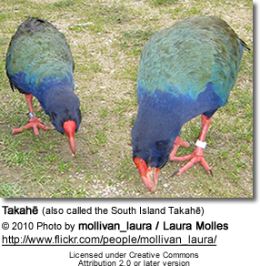 Takahe; (also called the South Island Takahe)