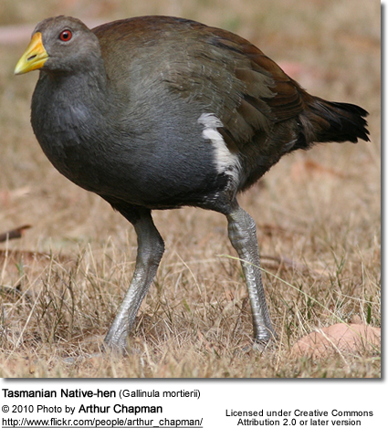 Tasmanian Native-hen (Gallinula mortierii)