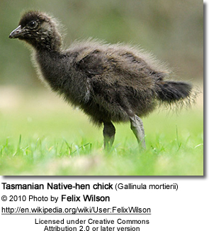 Tasmanian Native-hen chick (Gallinula mortierii)